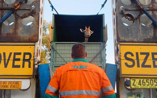 We carried Kitoto the giraffe across Australia to her new home at Perth Zoo